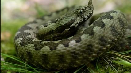 snake, viper ammonites