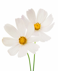 white cosmos flower isolated