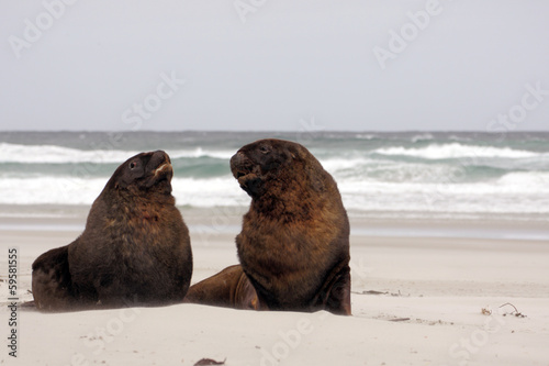 New Zeland sea lions