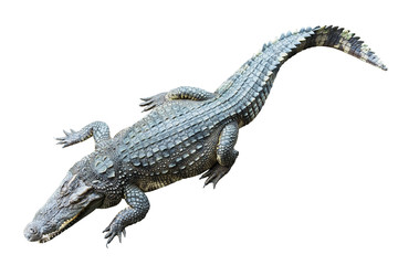 crocodile on white background.