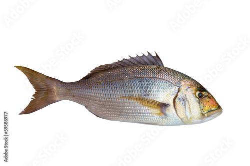 Dentex Dentex fish sparidae from Mediterranean sea