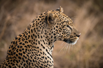 Close-up portrait of male leopard, Serengeti, Tanzania