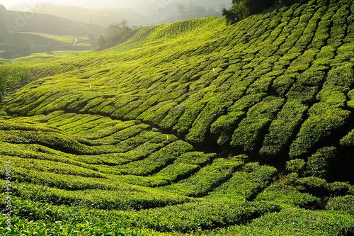 Tea Plantation Pattern on the Hill