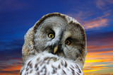 Head of great Gray Owl  against sunset