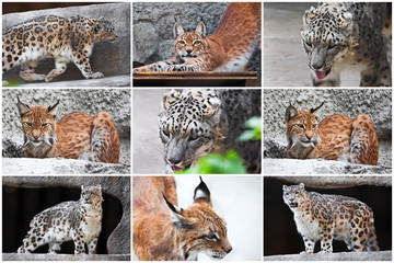 Lynx and Snow Leopard