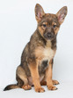 Brown puppy sitting on white isolated background