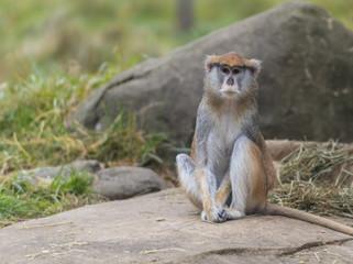 Patas Monkey - Erythrocebus patas