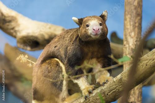 Foto op Aluminium Kangoeroe Tree Kangaroo