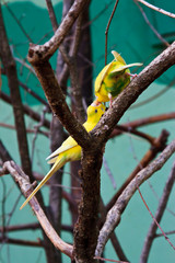 two yellow lovebird in forest on tree