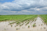 Agriculture, flooded soy field in spring, natural disaster