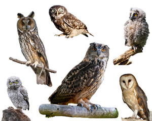 European owls isolated on white