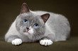 Siamese cat with blue eyes relaxing on green mat