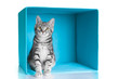 Tabby grey cat sitting in blue cube