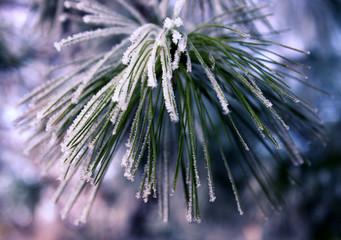 Frost on pine II