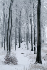 Misty Beech Forest in the Winter