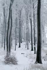 Misty Beech Forest in the Winter