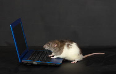domestic rat with a laptop