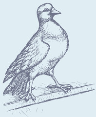 """Vector drawing of a series of sketches """"Birds"""". Pigeon"""