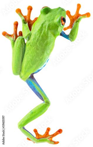 Foto op Plexiglas Kikker red eyed tree frog