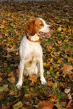 Brittany spaniel, young dog sitting