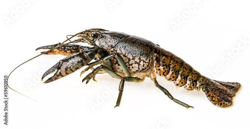Leinwandbild Motiv crayfish isolated on a white background