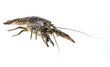 Leinwandbild Motiv crayfish - Procambarus fallax isolated