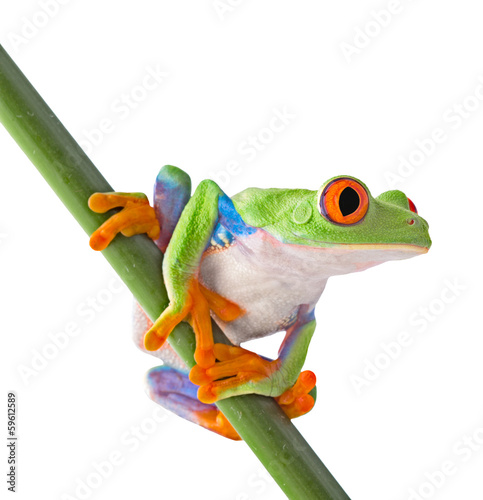 red eyed tree frog isolated - 59612589
