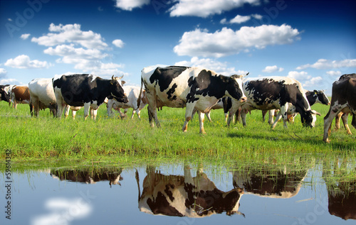 Tuinposter Koe Calves on the field