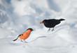 Bullfinch bird and blackbird in the snow in winter