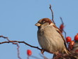House Sparrow on branch, Passer domesticus