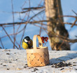 Birds in winter. Tit on a manger in a park eating seeds and nuts