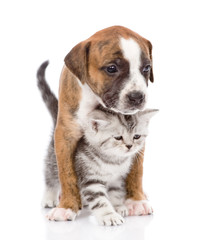 Scottish kitten and puppy together. isolated on white background