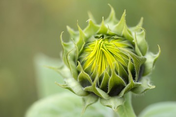 halb geöffnete sonnenblume / semi-open Sunflower