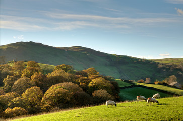 Sheep in autumnul English rural scene