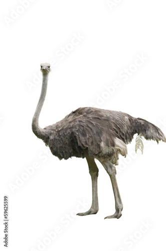 In de dag Struisvogel A Beautiful Female Ostrich Isolated on White