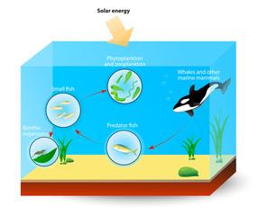 Marine Food Chain or food web