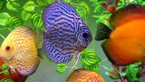 Aquarium with Discus