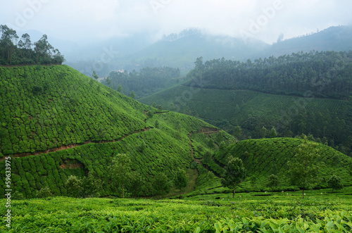 Beautiful fresh green tea plantations in Munnar highland,Kerala,