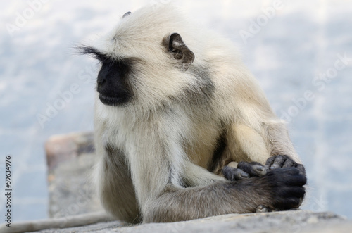 Portrait of Gray langur or Hanuman langur,Indian subcontinent