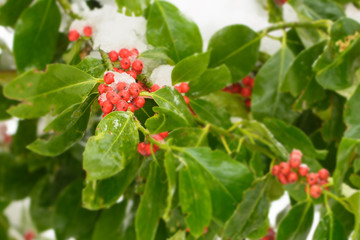 Box-tree with red berries