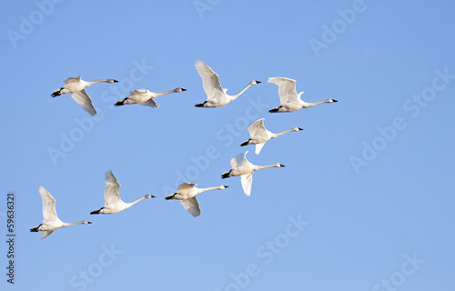 Fotobehang Vogel Tundra Swans in Flight