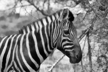Zebra Head Side Profile Painting Balck and White