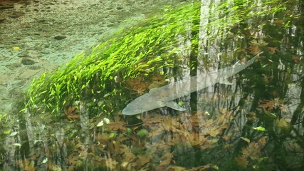 Sturgeon Swimming Slowly