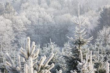 Weihnachtsbaumzucht