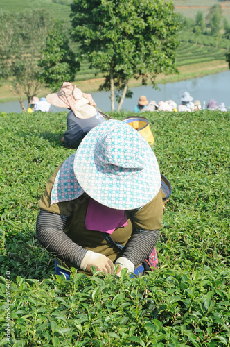 Workers picking tea leaves in a tea plantation