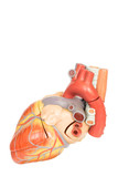 Human heart model side view