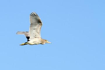 juvenile night heron in flight