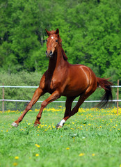 Beautiful sorrel racehorse playing on the field