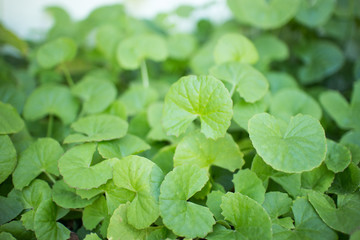Centella asiatica green leaf