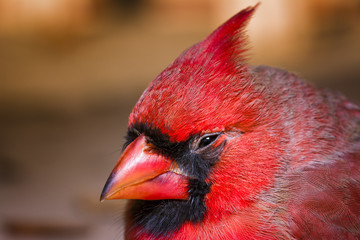 Male Cardinal, Outdoor Macro Photo